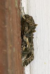 moth, sleeping (Jeff Mitton) Tags: macro stack moth