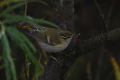 Yellow Browed Warbler. (stonefaction) Tags: birds nature wildlife angus scotland yellow browed warbler ferryden scurdie ness montrose