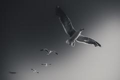 Follow me, I know the way... (Luis Timoteo) Tags: seagulls blackandwhite blackwhite bw white black nikon nikond750 tamron fly sky