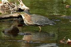Butorides virescens, GREEN HERON. (openspacer) Tags: bird butorides creek greenheron jasperridgebiologicalpreserve jrbp