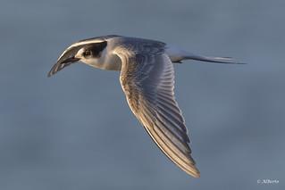 Common Tern / Sterne pierregarin
