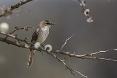 Marico Flycatcher (Bradornis mariquensis) (Matt OZW) Tags: namibia bird