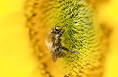 Macro Monday - Connection *Explore* (AdaMoorePhotography) Tags: macromonday nikon nature natural wild wildlife sun summer sunflower garden england uk d7200 105mm 105mmf28 macro macromondays connection yellow green focus focusstacking insect bee pollen flower plant outside countryside