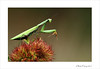 Mantes religieuse (Mantis religiosa) (www.olivierfarcyphotographie.com) Tags: mantereligieuse mantisreligiosa macro mantes loireatlantique bretagne photo insecte invertébré canon