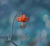 Wild Tiger Lily ( Columbia Lily ) (Zara Calista) Tags: lilium columbianum tiger lily columbia whistler bc canada flower wild nature plant outdoors orange bokeh dof blur blue teal turquoise nikon d750 sigma 50mm f14