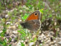 Butterfly 1432 (+780000 views!) Tags: butterfly borboleta farfalla mariposa papillon schmetterling