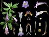 Gesneriaceae Lysionotus pauciflorus (taiwanicus) Tags: 完全花 perfectflower 兩側對稱 zygomorphy 合辦花 gamopetalous 下位花 hypogynousflower 兩性花 bisexualflower 花萼筒 calyxtube 花萼裂片 calyxlobe 花盤 disk 花冠筒 corona tube 花冠裂片 corollalobe 雄蕊 stamen 花絲 filament 花藥 anther 縱裂 longitudinaldehiscence 合生雄蕊 syndunamousstamens 聚藥雄蕊 synantherous 雌蕊 pistil 子房 ovary 花柱 style 柱頭 stigma