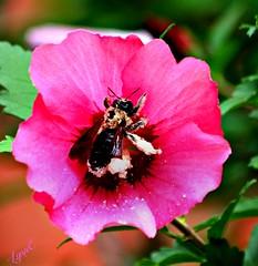 Pollen Laden Bee (Lynn English) Tags: roseofsharonbee pollen pink yard