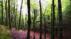 Bosque. (jumaro41) Tags: bosque árbol senderismo deporte eugi navarra ggreen lluz life montaña mountain monte naturaleza nature natural paisaje tree