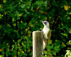 Green woodpecker  Picus viridis (pete Thanks for 5 Million Views) Tags: hwcp autumn garden lumix macro zoom greenwoodpeckerpicusviridis colchester