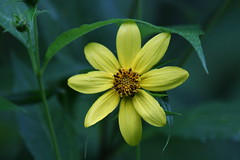 Tickseed sunflower (jimbop22001) Tags: plants