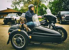 MotoDog_ManColorEffectsBDMC1 (Sandi Beaudoin) Tags: harleydavison sidecar motorcycle harley hog fatboy germanshorthairretriever black cycle biker bikers dog hunter pointer spotted spots helmet goggles roadhog cooldude bluejeans leather roadtrip travel sundaydrive slidersunday