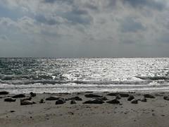 Helgoland-Düne-Robbenkolonie (BrigitteE1) Tags: helgoland insel nordsee strand meer himmel wolken robben seehunde kegelrobben robbenkolonie heligoland island northsea germansea beach sea sky clouds greyseal seal sealcolony ufer shore