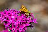 Sandhill Skipper on the Penta (halladaybill) Tags: backyard butterfly penta sandhillskipper coronadelmar california orangecounty bokeh
