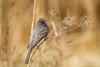 Black Phoebe (Bob Gunderson) Tags: birds blackphoebe california empidonaxflycatchers flycatchers goldengatepark northerncalifornia sanfrancisco sayornisnigricans depthoffield bokeh sunrays5