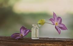 Clematis (Inka56) Tags: 7dwf clematis flowers woodtable vase bokeh flora hbw