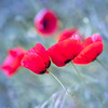 Coquelicot (Tiémey) Tags: coquelicots macro fleur