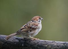 Tree Sparrow ( Passer montanus ) Male (Dale Ayres) Tags: tree sparrow passer montanus male bird nature wildlife