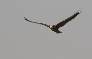 Busard des roseaux - Saih al Salam Desert Reserve/Dubai/UAE_20170109_011-1
