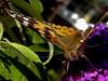 (Lepidoptera: Nymphalidae) Cynthia cardui, Tistelfjäril / Painted lady (holgeric77) Tags: karlstad värmlandslän sweden se