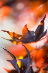 Autumn abstract (Petra Runge) Tags: laub herbst bunt farbig ahorn natur blätter nature autumn color abstract schärfentiefe bokeh creative kreativ