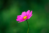 One of my favorite flowers (Sirena Lu) Tags: bokeh flowers nature dof closeup 50mm canon pink simple beautiful cute little colors quiet 安静 静悄悄 bloom blumen blossom autumn peaceful mood natur