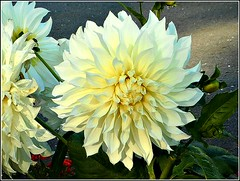 Beautiful Dahlia Flower .. (** Janets Photos **) Tags: uk plants flora flowers dahliaplants closeups