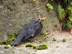 Merle (paullesur) Tags: fleurs oiseau merle bird creuse nature animal foret campagne limousin souffrance mousse vert noir blackbird pain
