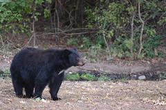 DSC_7317 Momma Black Bear (futzr.fotoz) Tags: fort simcoe state park yakima county washington north american black bear oak apple trees alert alarm acorns