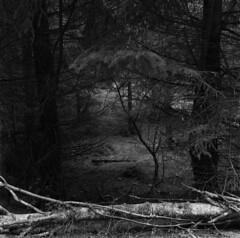 How all the good things started (Other dreams) Tags: forest existinglight birch pine fallen rotting grass landscape poland stawiguda warmia decay contrast film analog nature warmianmasurianviovodeship warmińskomazurskie warmiamasuriaprovince