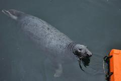 harbour seal (werewegian) Tags: grey seal harbour water eyemouth swimming werewegian sep17