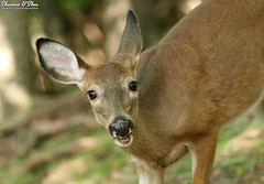 Like a deer in headlights (Shannon Rose O'Shea) Tags: shannonroseoshea shannonosheawildlifephotography shannonoshea shannon whitetaileddeer deer animal nature wildlife wildwoodlake harrisburg pennsylvania dauphincounty closeup close art wild wildlifephotography photo photography camera odocoileusvirginianus herbivore canon canoneos80d canon80d eos80d 80d canon100400mm14556lisiiusm outdoors outdoor colorful flickr wwwflickrcomphotosshannonroseoshea talltimberstrail