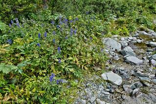 Flowers of Altai. Дельфиниум. Delphinium