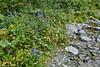 Flowers of Altai. Дельфиниум. Delphinium (Tatters ✾) Tags: altai russia floraofaltai delphiniumlaxiflorum delphinium ranunculaceae creek blueflowers oloneo