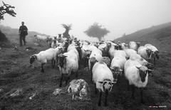 Rebaño (Jabi Artaraz) Tags: jabiartaraz jartaraz zb euskoflickr ovejas oveja sheep rebaño artaldea pastor gorbea