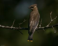 Juvwax77a (lfalterbauer) Tags: cedarwaxwing nature wildlife juvenile immature young canon 7dmarkii peacevalleypark doylestown ornithology avian