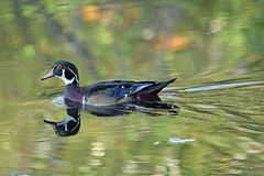 Fall Woodie (marylee.agnew) Tags: wood duck fall colors water reflections bird beauty nature wildlife autumn