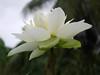 Nelumbo nucifera 'Betsabe' Thailand 005 (Klong15 Waterlily) Tags: betsabelotus thailandlotus lotus thailotus nelumbonucifera nelumbo nelumbobetsabe