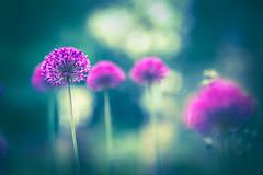 Fade out (Ans van de Sluis) Tags: ansvandesluis flower allium bokeh bokehlicious purple magenta flora floral soft subtle macro wildonion fadeout