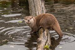 Washing its hands 500_1424.jpg (Mobile Lynn) Tags: marinemammals otter nature captive fauna mammal mammals wildlife studleygrange swindon wiltshire uk