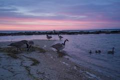Dawn at Surf Beach (Jeff Mitton) Tags: surfbeach capecod beach dawn sunrise canadageese mallard jetty marthasvineyard marine