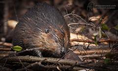 Beaver, Quebec, Canada (photovansoest | nature & wildlife photography) Tags: beaver canada mammal mammals quebec travels wildlife wild bever zoogdier zoogdieren