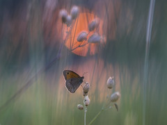 Sunset Warrior (der_peste) Tags: butterfly insect bokeh dof depthoffield shallowdepthoffield schmetterling sunset sun sundown macro proxy