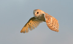 Barn Owl (KHR Images) Tags: barnowl barn owl tytoalba wild bird birdofprey daybreak morning golden light flying inflight fendraytonlakes rspb cambridgeshire eastanglia wildlife nature nikon d500 kevinrobson khrimages