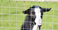 """Die Ziege. Die Ziegen. Auch: Das Zicklein, weil es ein junges Tier ist. Die Ziege blickt durch ein Gitter. • <a style=""""font-size:0.8em;"""" href=""""http://www.flickr.com/photos/42554185@N00/35840707614/"""" target=""""_blank"""">View on Flickr</a>"""