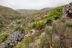 Desierto Florido (Francisca Santamaría) Tags: desierto florido flora chile atacama huasco plantas cactus