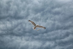 Gliding (crafty1tutu (Ann)) Tags: travel holiday 2017 unitedkingdom uk england sidmouth dorset animal bird seagull gull clouds inflight crafty1tutu canon5dmkiii canon24105lserieslens anncameron naturethroughthelens naturescarousel coth coth5 ngc