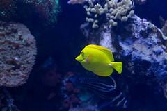 Ripleys Aquarium (davebentleyphotography) Tags: canon6d davebentleyphotography ripleysaquaium ripleyssmokeymountains 2017 canon ripleys ripleysaquarium fish