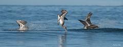 _DSC4234 (P2 New) Tags: 2016 animaux costarica date décembre jaco oiseaux pays pélicanbrun jacó provinciadepuntarenas