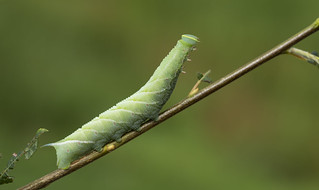 Eyed Hawk-moth larva (Smerinthus ocellata).